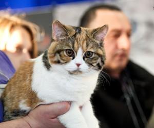 ринг британских кошек